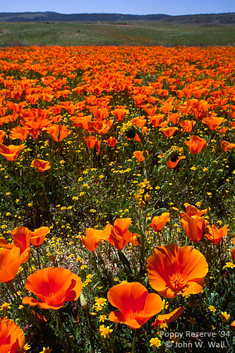 California Poppy Reserve 1994 by John Wall