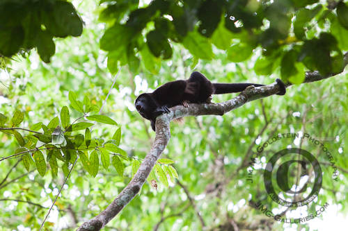 Male Howler Monkey (Alouatta palliata) Howling to Defend His Territory