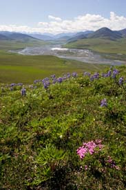 Arctic Refuge - Caribou Pass View (with Phlox and Arctic Lupine)