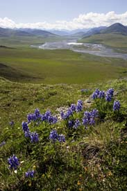 Arctic Refuge - Caribou Pass View (with Arctic Lupine)