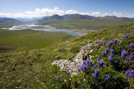 Arctic Refuge - Lower Caribou Pass View (with Arctic Lupine)