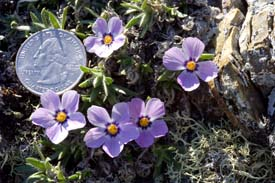 Arctic Refuge - Arctic Phlox with quarter for scale