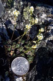 Arctic Refuge - Low Braya (Braya humilis) with quarter for scale