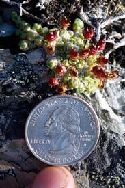 Arctic Refuge - Purple Mountain Saxifrage (Saxifraga oppositifolia) with quarter for scale