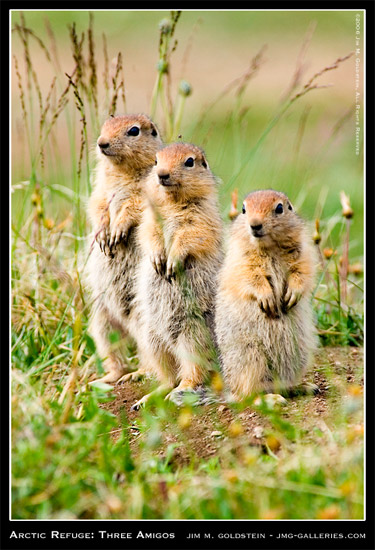 Three Amigos (Juvenile Arctic Ground Squirrels), Arctic National Wildlife Refuge photo by Jim M. Goldstein