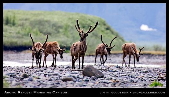 Migrating Caribou, Arctic National Wildlife Refuge photo by Jim M. Goldstein