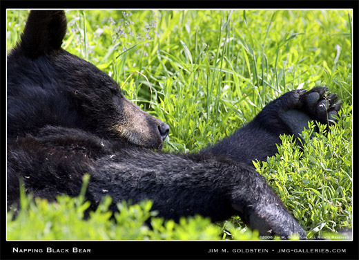 Napping Bear photographed by Jim M. Goldstein