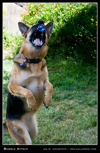 Zoe the German Shepherd attacking bubbles photographed by Jim M. Goldstein
