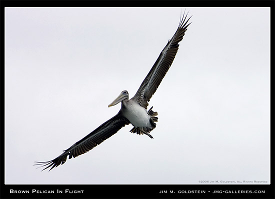 Brown Pelican In Flight Photograph by Jim M. Goldstein