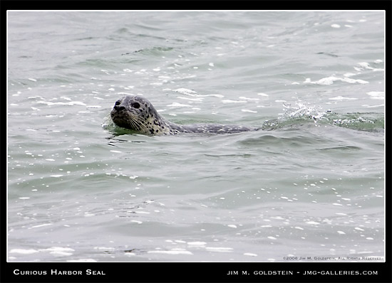 Harbor Seal Scans The Beach For Predators Photograph by Jim M. Goldstein